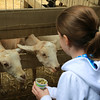 Ava feeding the goats.