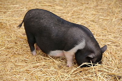 A pot bellied pig digging around for food.