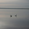 The swans were enjoying their time basking in the sunrise on Pike Bay in Cass Lake, Mn on April 6, 2010.