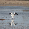 The Pelican took off from its perch on a swampy area between Cass Lake and Pike Bay.