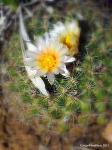 Spring Cactus Blossom, Fisher Mesa, Utah.