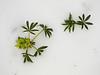 Heléboro en la nieve (cámara compacta)