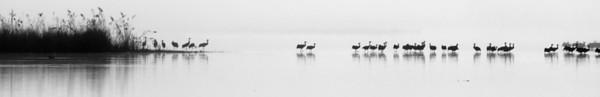 Gray Cranes at Sunrise