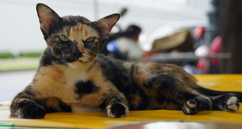 This multicoloured cat is lying on top of a restaurant table.  I love how the Thai people are so relaxed about things and permit something like this to happen quite often.