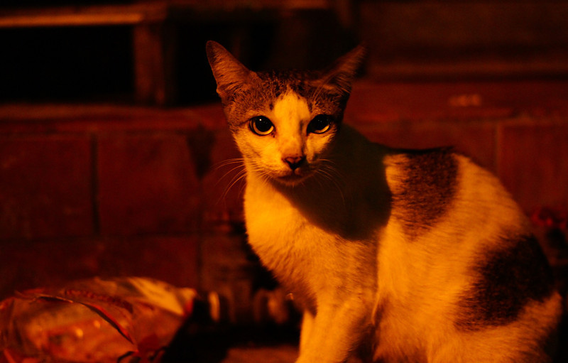 Late at night, this cat with lovely eyes, takes a moment to pose for me before scrounging in the plastic bag for leftover scraps of food - Bangkok, Thailand.