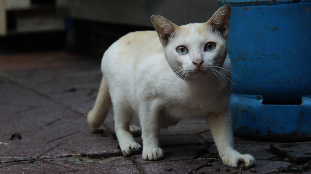 cats of bangkok thailand roaming the streets photo essay i love candid shots of people and that extends to animals as well here i