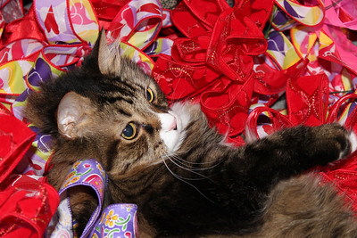 Brighton swoons in a pile of Valentine ribbons. Brighton is my sisters cat, my sister owns a florist shop, she was at home making bows ahead of time for Valentines Day... the cat saw the bows and went crazy in them then swooned. Happy Valentines Day!