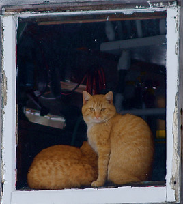 I was driving along and spotted these cats peering out from the window of a shed, I couldn't get too close to get a really sharp photo, but I still like this one.