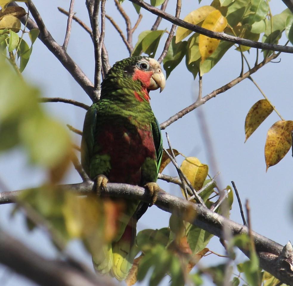 Parrot on a Stick