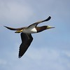 Flying Booby