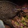 Pederson shrimp