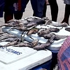 Dead fish caused by Cebu oil spill