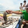 Dead fish due to Cebu oil spill