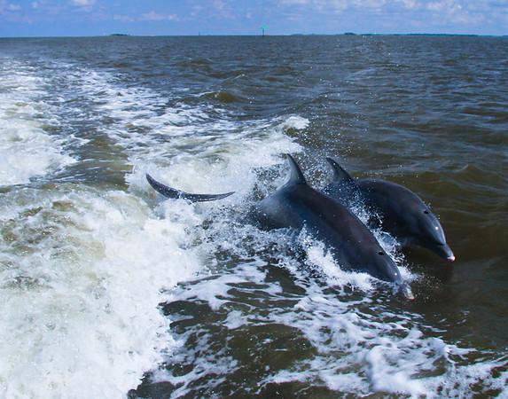 dolphins jumping behind our boat off Cedar Key, Fl