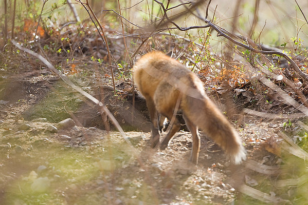 Celery Farm-Foxes and Kits
