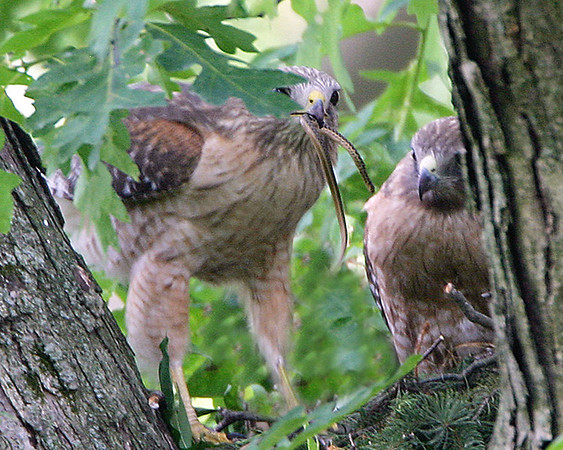 Celery Farm-Red-shouldered Hawk