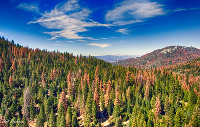 The dying forest trees atBass Lake, CA.