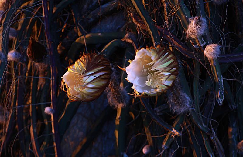 The Night Blooming Cereus Cactus.  Epiphyllum Oxypetalum