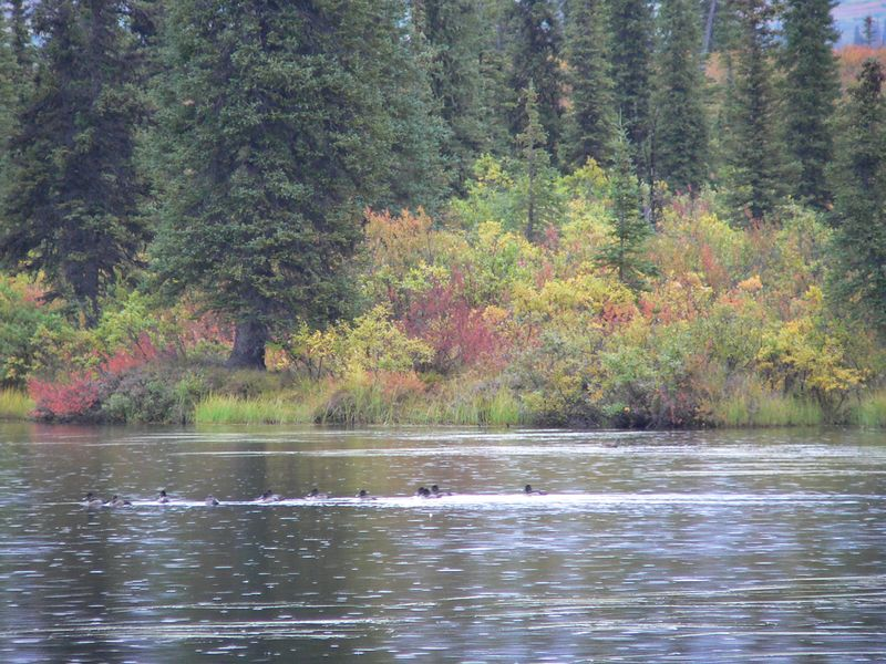In spite of the rain early, the foliage in and near Denali National Park made the day spectacular