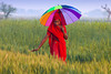 Choice 11 of 18 / Hindu woman in wheat field with umbrella