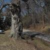 Burl: Fagus grandifolia, Parkersburg, Wood County, WV