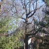 Tree is in ravine at 57 Willowbrook Drive, Parkersburg, Wood County, WV<br /> 12.8' x 126.3' x 105'<br /> Photo by Turner Sharp 12/10/2011