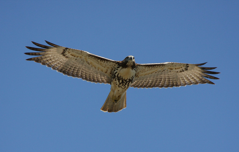 Red-tailed Hawk, 21 September 2010