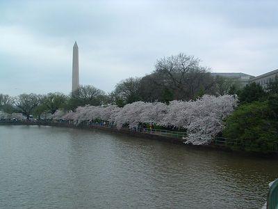 Cherry Blossoms, tidal basin DC April 08, 2005