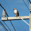 Osprey was on top of the high tension pole.