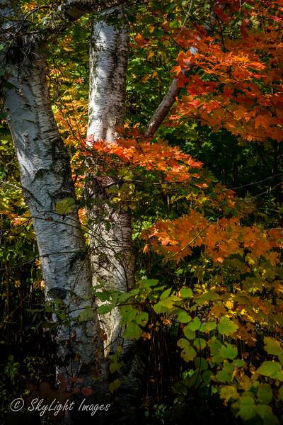 Highlands Birch
