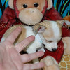 Chihuahua Puppy 2394 (Photo & Video) SOLD not available!! : SCROLL DOWN * CLICK OPEN VIDEOS & PICTURES BELOW FOR A LARGER VIEW *