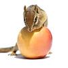 Chipmunk and Apple