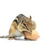 Chipmunk and Walnut