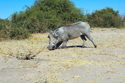 Warthog eating...and looking a bit upset at being watched while doing it. They are pretty ugly, but interesting: http://www.awf.org/wildlives/153