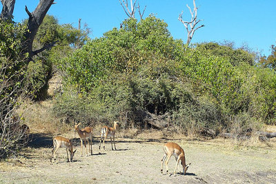 Impalas: http://www.awf.org/wildlives/143