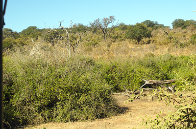 There are actually a few giraffes hiding in this picture.