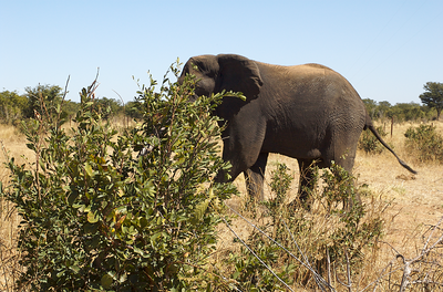 Our safari guide spotted this elephant from the road as we were traveling from the land safari to the river safari. He sped off the main road & onto the dirt so we could get a closer look. The elephant seemed understandably nervous about it all.