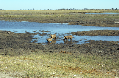 Warthog alert! These guys can go for months without water!
