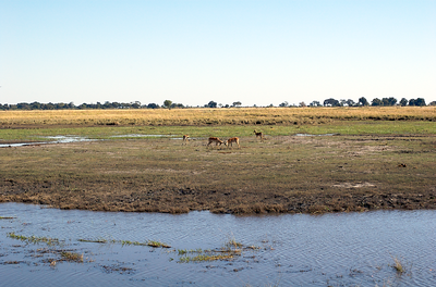 Impalas, in what appeared to be a challenge of a younger male against a territorial male through a horn duel (http://www.awf.org/wildlives/143)