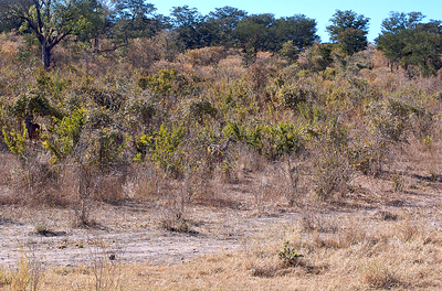 1st picture worthy sighting of the safari: impalas (medium-sized antelopes). Can you spot them?