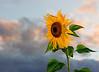 Sunflower adn Sky Final