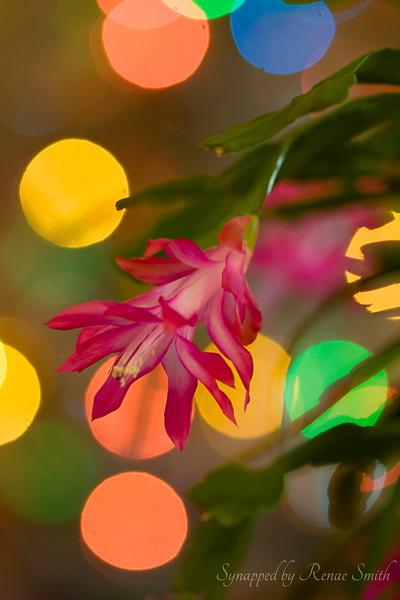 Christmas Cactus Alight