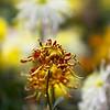 chrysanthemum, 菊花