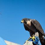 Liz & Peregrine Falcon