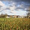 Field of tulips, Rotorua, New Zealand.