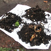 To harvest, put compost in piles under light. Worms will move to the centre.