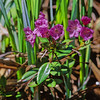 Bog laurel (Kalmia microphylla).