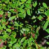 Oregon boxwood (Paxistima myrsinites).