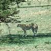 Cheeta - uncommon  Tanzania 1983