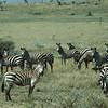 Zebra  Tanzania 1983